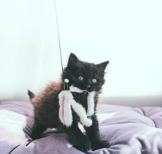 遊び心のある黒い子猫が立って、その口の中にティーザーの毛皮のおもちゃを持っています
