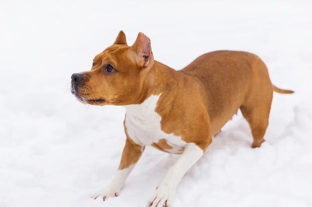 Игривая коричневая родословная собака сидит на снегу. стаффордширский терьер