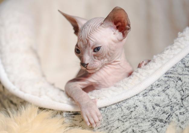 Игривые кошки породы сфинкс.