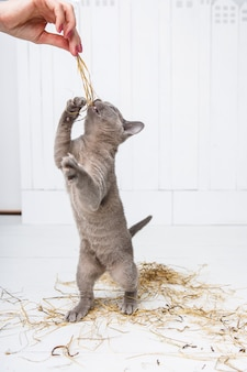 Playful cat in the straw on a white wooden floor jumps, hunts, stands on its hind legs.