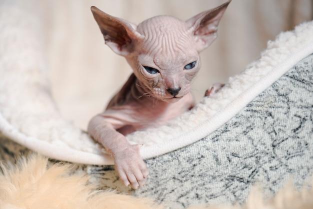 スフィンクスの遊び心のある陽気な猫の品種。