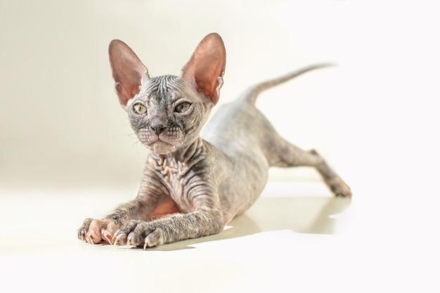 화이트에 장난 귀여운 털이없는 고양이
