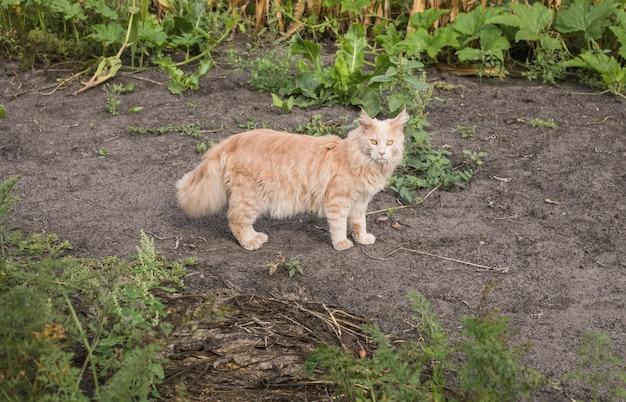 遊び心のある生姜のメインクーンの子猫が屋外に横たわっています。庭の大きな赤い猫