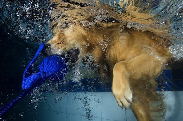Playful golden retriever puppy in swimming pool has fun
