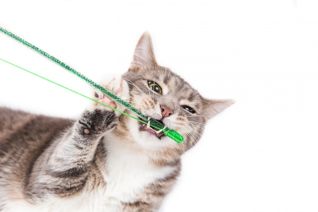 Playful gray striped cat gnawing green toy on white background.