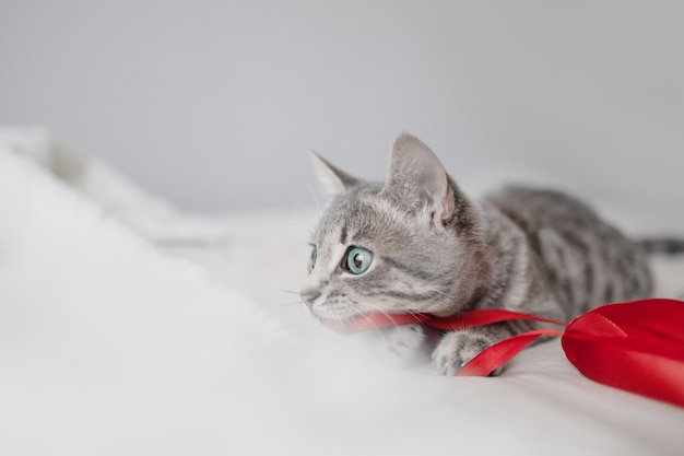 Playful gray tabby kitten with blue eyes plays with a christmas red satin ribbon on a white plaid in...