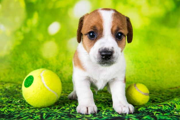 テニスボールと遊び心のある幸せなジャックラッセルテリア犬