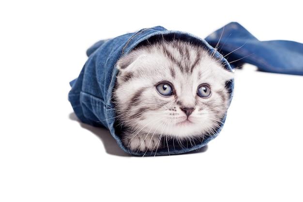 Игривый котенок. игривый котенок шотландской вислоухой, выглядывающий из-под штанины джинсов