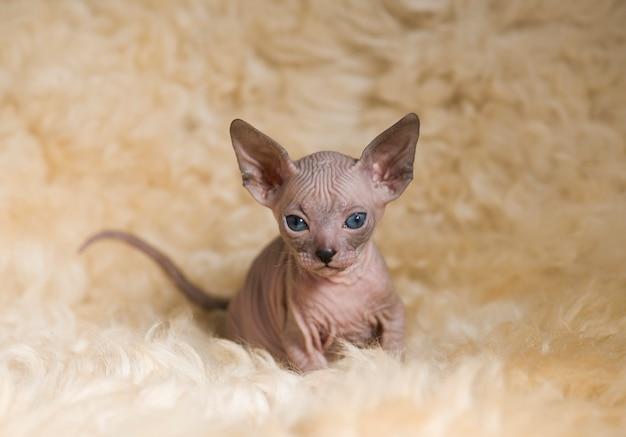 遊び心のある小さなスフィンクス猫のクローズアップ