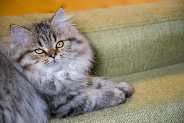 Playful long-haired kitten persian chinchilla gray color. home pet. naughty cat.
