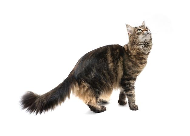 Игривый кот мейн-кун стоит на задних лапах и смотрит вверх. изолированные на белой поверхности