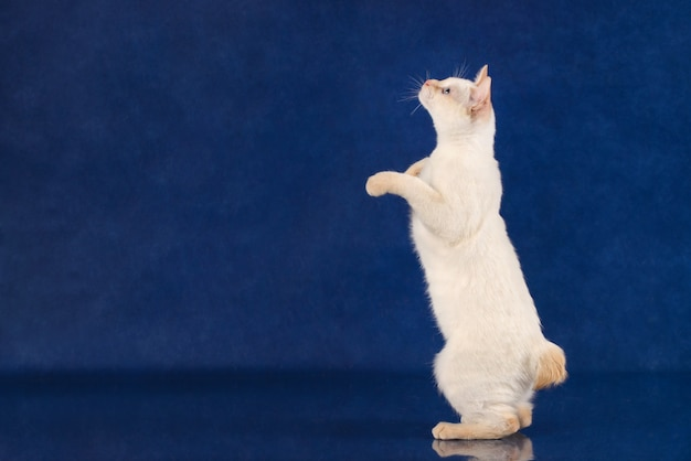 Playful mekong bobtail cat standing on rear paws