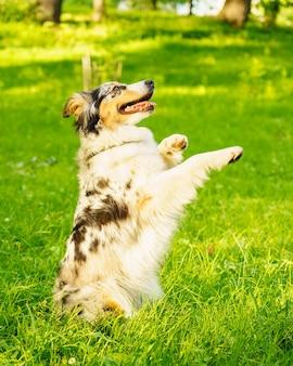 Игривая собака смешанной породы сидит в позе попрошайничества с высунутым языком во время прогулки с владельцем в поле