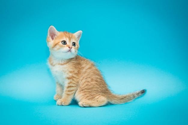 Игривый рыжий котенок на синем фоне.