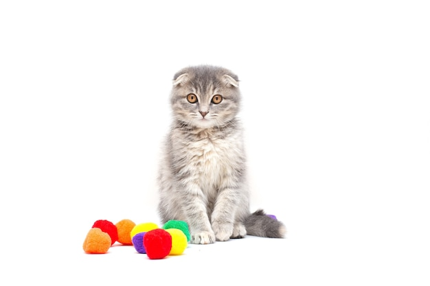 Игривый котенок шотландской кошки