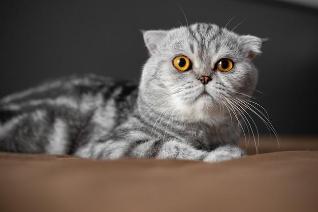 ベッドの上で遊び心のあるスコティッシュフォールド猫。クローズアップスコティッシュフォールド猫はとてもかわいいです。