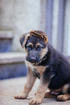 Playful shepard puppy isolated at home