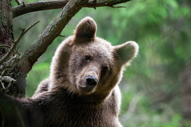 Playful young brown bear in turn while climbing tree in green forest in summer