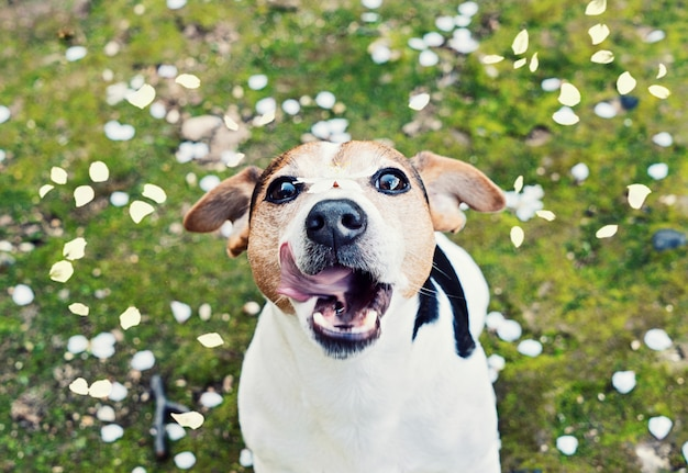 Playful young jack russell terrier catches mouth cherry petals