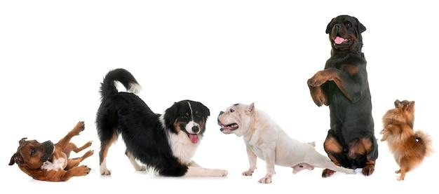 Playind собак в студии