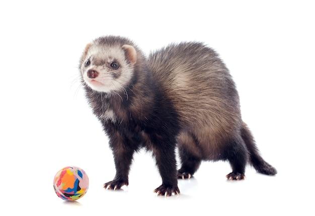 Playing brown ferret