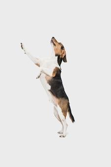 Giocando. piccolo cane o animale domestico sveglio del segugio estone che posa sopra lo studio bianco