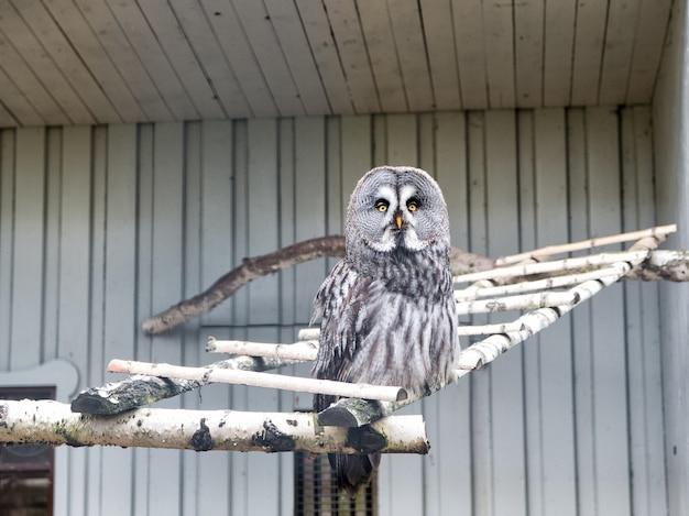 飛ばしてくださいカラフトフクロウと謎めいた羽毛大きな目を持つかわいいフクロウの鳥