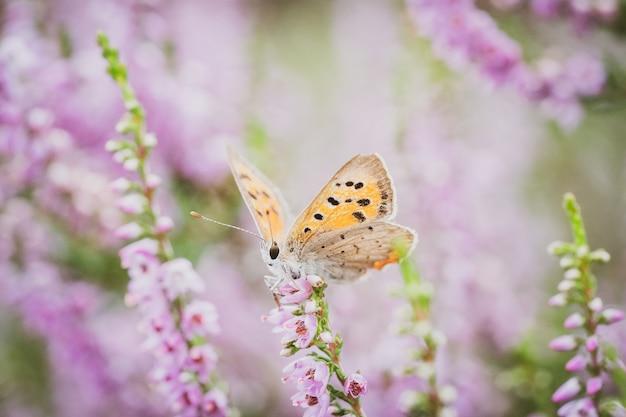 Маленькая бабочка plebejus argus на цветке