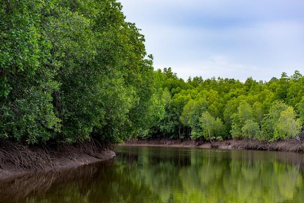 Plenary mangrove forest grow beside the river.