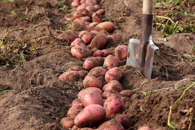 庭のシャベルを背景にたっぷりのジャガイモの収穫