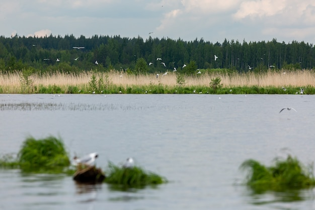Plenty of seagulls flying around the lake in russia