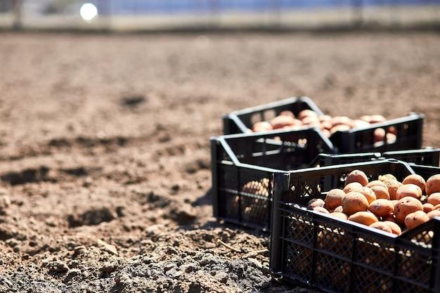 耕作地とジャガイモ塊茎を箱に入れました。農業とジャガイモの植え付け。コピースペース。