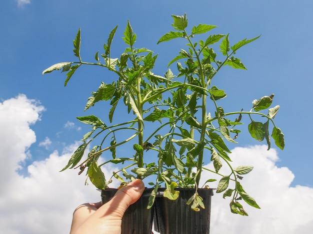 플러그 토마토 식물