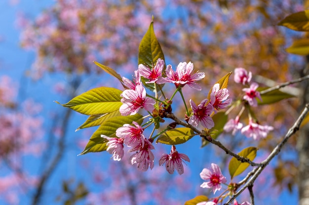 Plum blossoms shining in the blue sky