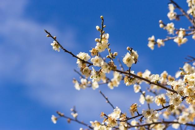 Plum blossoms in winter