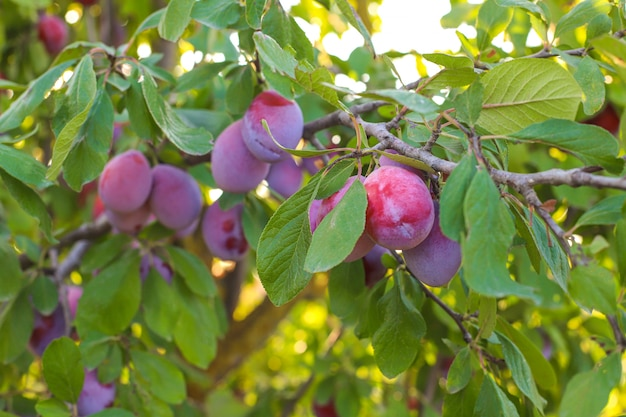 Plum branch with juicy fruits , sunlight, plum garden.