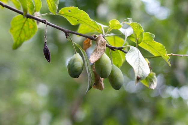 A plum branch with unripe green plums against of a blurred garden