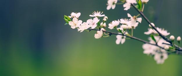 공원, 선택적 초점, 배너에 흰색 꽃과 매화 지점