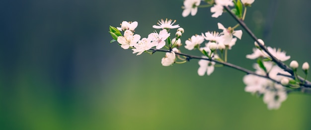 Plum branch with white flowers in the park, selective focus, banner