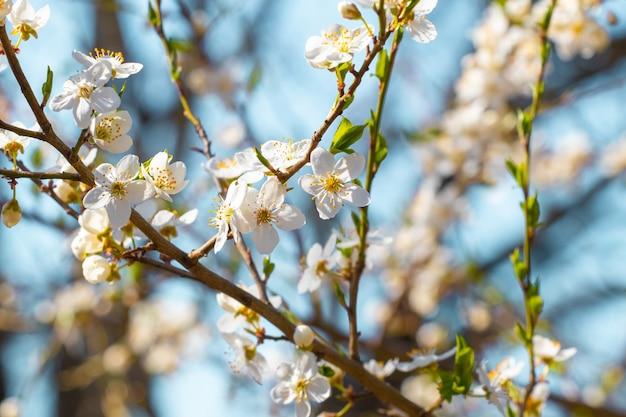Цветы сливы на дереве в солнечную погоду