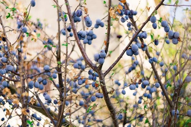 Плоды сливы крупным планом на ветвях с молодыми зелеными листьями.