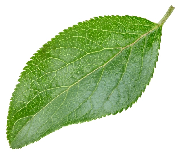 Plum leaves isolated on white background. leaves clipping path. food photography