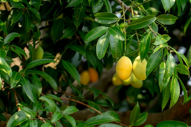 Plum mango fruit summer. yellow color expensive but delicious.