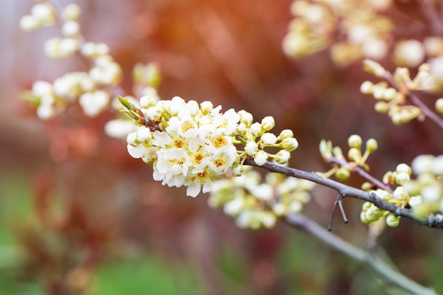 Plum tree branch blossoms in the garden.