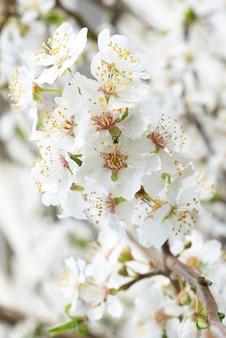 Plum tree white flowers .