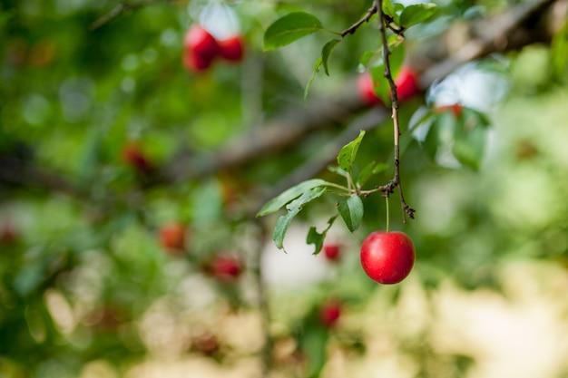 美味しい大きな赤い梅と梅の木