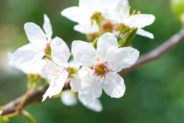 柔らかい背景の梅の白い花