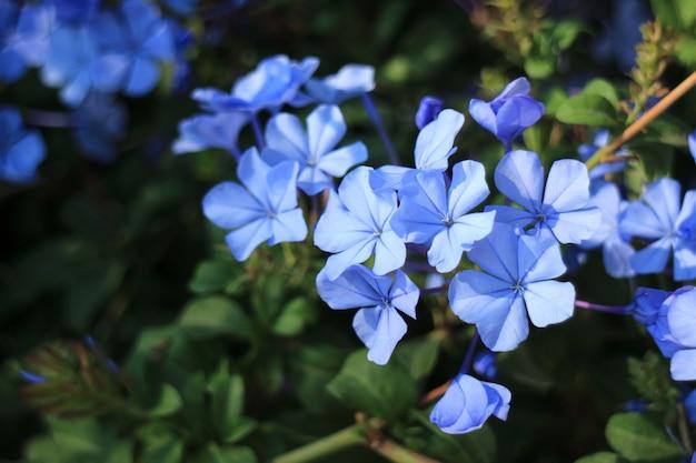 咲く青いplumbagoの花の束