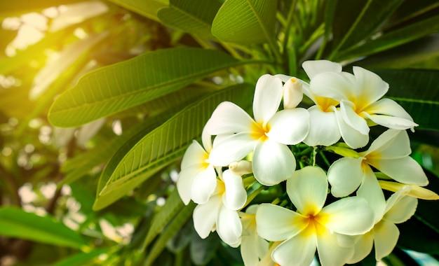フラジパニの花(plumeria alba)は、ぼやけた背景に緑の葉が付いています。
