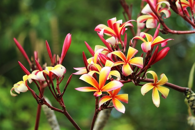 Plumeria colorful bouquet flower blooming in the garden